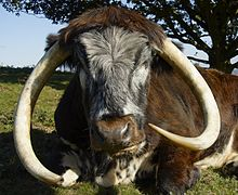 English Longhorn cow.jpg
