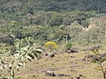Entre pêdras e vegetações, o Ipê Amarelo se destaca com as suas côres vivas Ago 2010. - panoramio.jpg
