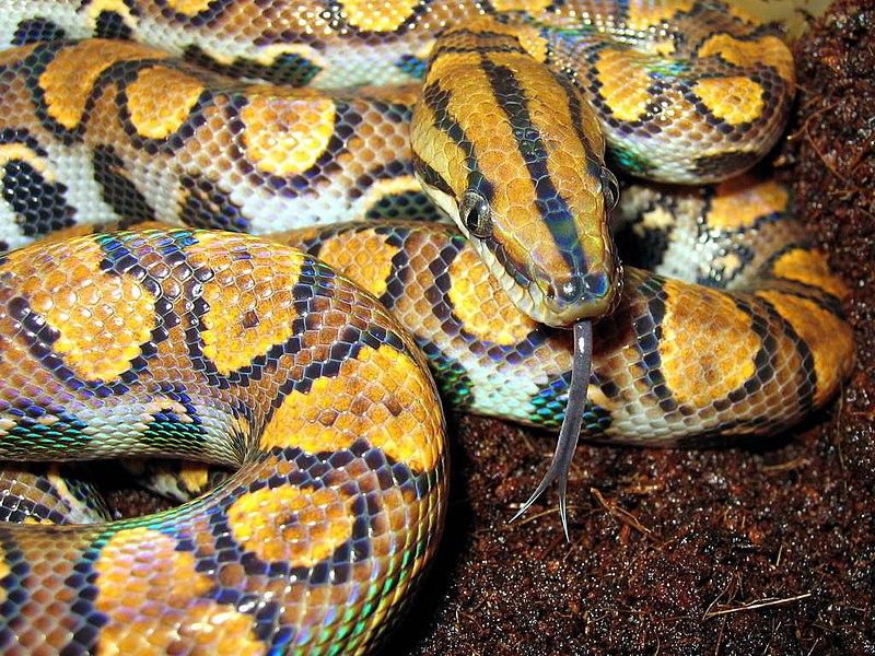 The Natural History And Captive Care Of The Brazilian Rainbow Boa
