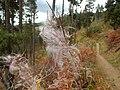 Epilobium angustifolium - fireweed - Flickr - Matt Lavin.jpg