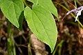 Epimedium grandiflorum var. thunbergianum 03.jpg