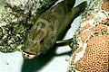 Epinephelus fulvus 1.jpg