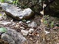 Epipogium aphyllum 2-Reichenhall.JPG