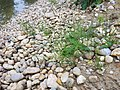 Equisetum arvense subsp. arvense sl41.jpg