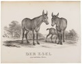 Equus asinus - 1700-1880 - Print - Iconographia Zoologica - Special Collections University of Amsterdam - UBA01 IZ21700073.tif