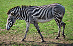 Equus grevyi (aka).jpg