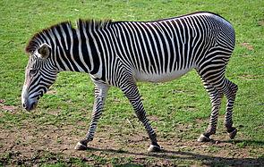 Das Grevyzebra (Equus grevyi), eine ostafrikanische Pferdeart