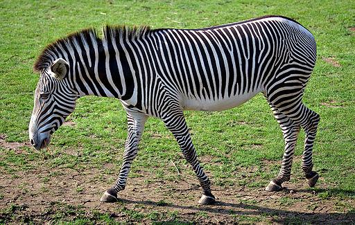 Equus grevyi (aka)