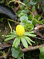 Eranthis hyemalis bud2.jpg
