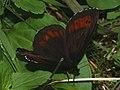 Erebia ligea - Arran brown - Чернушка кофейная (41121321052).jpg
