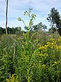 Erechtites hieraciifolia sl17.jpg