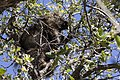 Erethizon dorsatum - Flickr - aspidoscelis.jpg