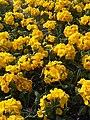 Ericales - Primula × polyantha - 2.jpg