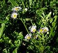 Erigeron annuus subsp. strigosus ENBLA15.jpg
