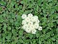 Eriogonum ursinum - University of California Botanical Garden - DSC09028.JPG