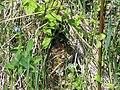 Erithacus rubecula in nest.jpg