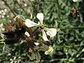 Eruca vesicaria. Big Bend National Park, Hwy 1776. March 2004 (C68C0AFA6E14443FA51820C208C3CDB8).JPG