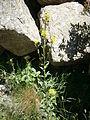 Erysimum hieracifolium 001.jpg