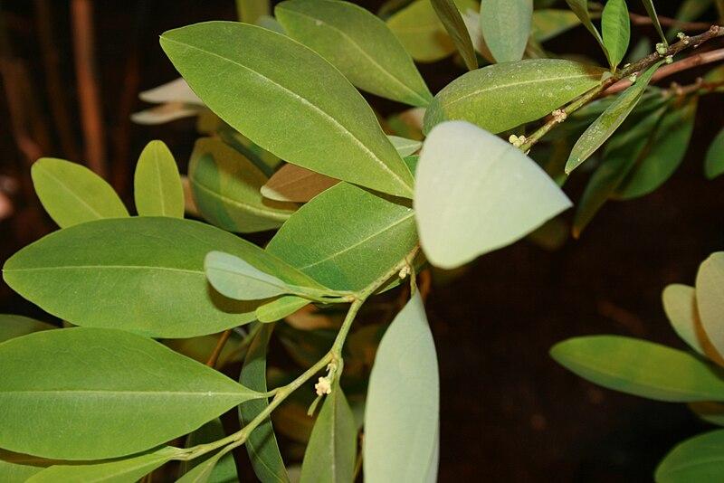 external image 800px-Erythroxylum-coca-foliage2.jpg