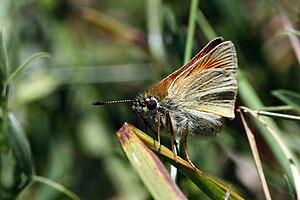 Essex skipper - Image: Essex skipper (Thymelicus lineola) underside