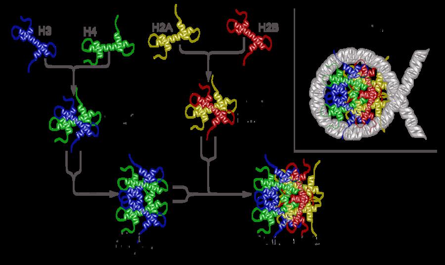 Cromosoma Wikiwand