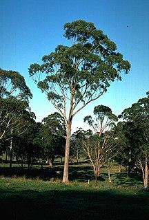 <i>Eucalyptus andrewsii</i> Species of eucalyptus
