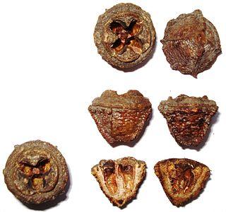 Eukalypten – Wikipedia