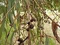 Eucalyptus mannifera fruit 1.jpg