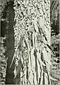 "Eucalyptus microtheca in ""Eucalypts cultivated in the United States"" (1902) (14803031963).jpg"
