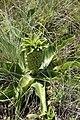 Eucomis autumnalis subsp. clavata = E. undulata (Hyacinthaceae) (5112073838).jpg