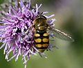 Eupeodes corollae (male) - Flickr - S. Rae.jpg