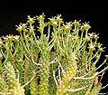 Euphorbia crassipes.jpg
