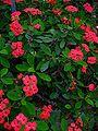 Euphorbia milii 001.JPG