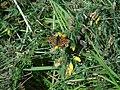Euphydryas aurinia.001 - Ribadeo.jpg