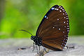 Euploea eunice hobsoni ventral view 20140228.jpg