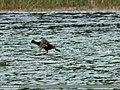 Eurasian Coot (Fulica atra) (20120516772).jpg