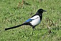 Eurasian Magpie (Pica pica), UK.jpg