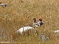 Eurasian Wigeon (Anas penelope) (27802407642).jpg