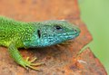 European green lizard - Oostelijke smaragdhagedis - Lacerta viridis.tif
