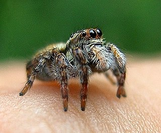 <i>Evarcha</i> Genus of spiders