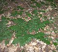 Evergreen-Wood-Fern-cluster (2997699370).jpg