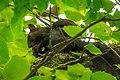 Evropska veverica (Sciurus vulgaris). Eurasian red squirrel.jpg