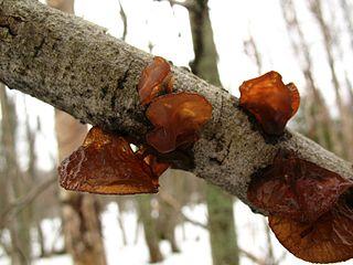 <i>Exidia recisa</i> species of fungus