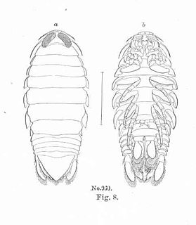 <i>Aega psora</i> species of crustacean