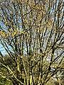 Fagales - Corylus avellana - 6.jpg