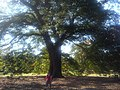 Fagales - Quercus robur - 009.jpg