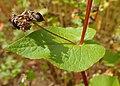 Fagopyrum esculentum kz09.jpg