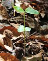 Fagus crenata cotyledon and leaf.JPG