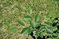 Fagus orientalis - Arnold Arboretum - DSC06851.JPG