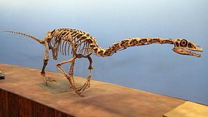 Falcarius - Reconstructed skeleton, Natural History Museum of Utah